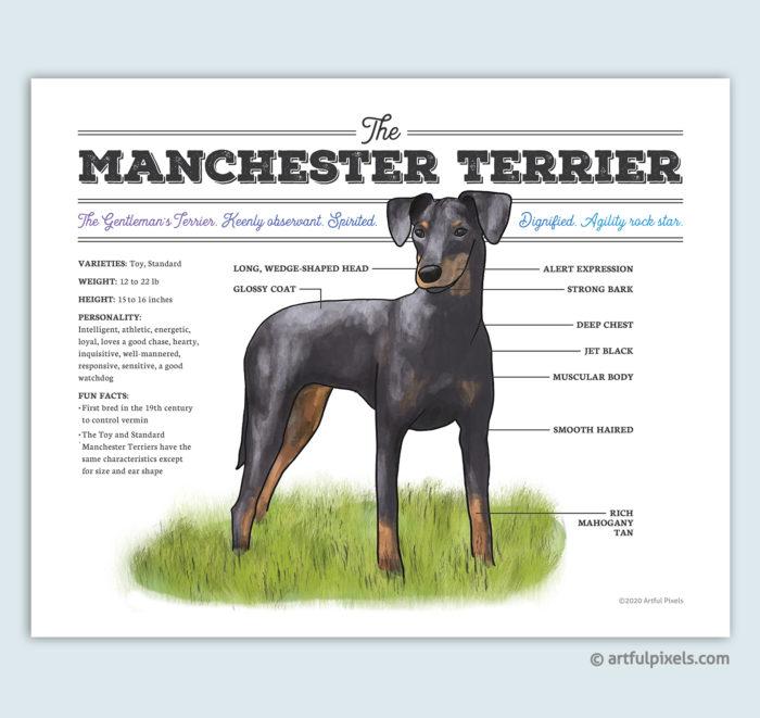 Manchester Terrier Dog Art Print
