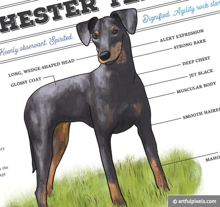 Manchester Terrier Dog Art Closeup