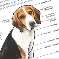 Beagle dog breed close up
