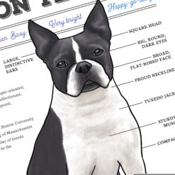 Close up of Boston Terrier diagram chart