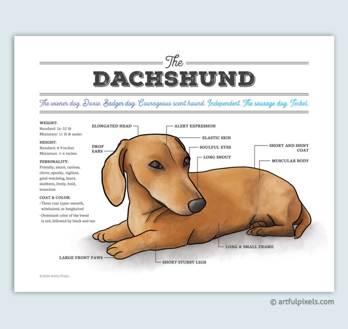 Dachshund Dog Breed Diagram Art Print