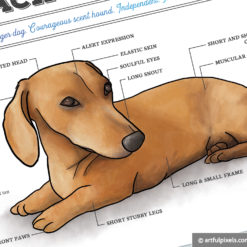 Close-up of Doxie Illustration